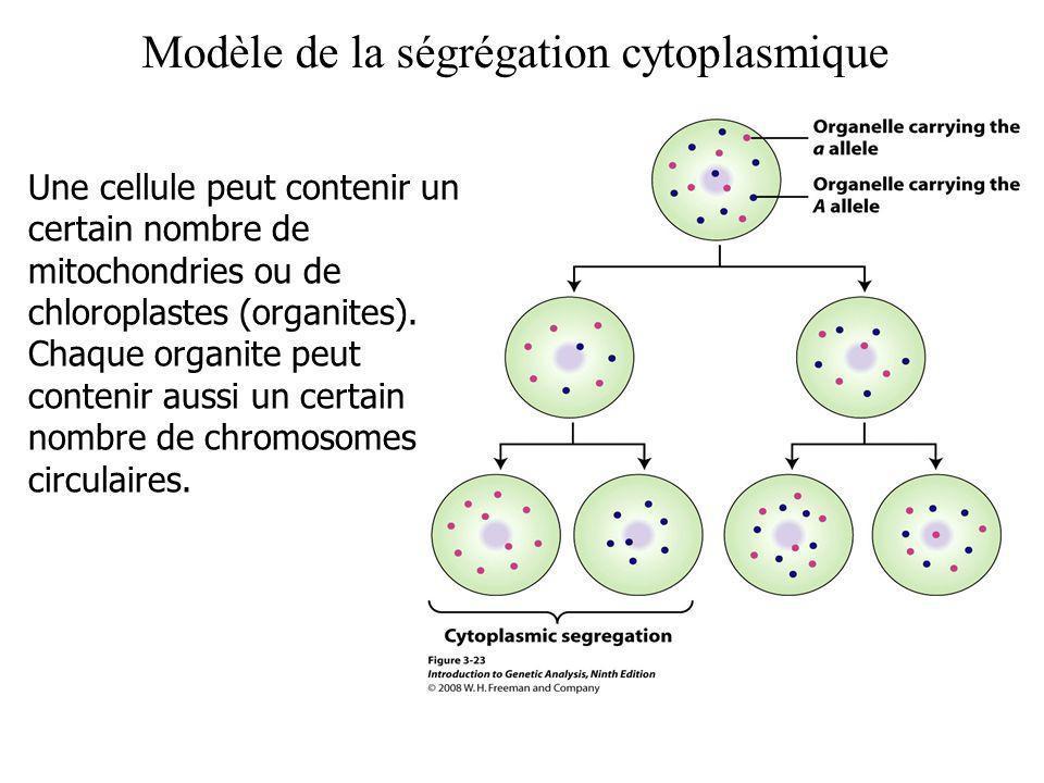 Modèle de la ségrégation cytoplasmique Une cellule peut contenir un certain nombre de mitochondries ou de chloroplastes (organites). Chaque organite p