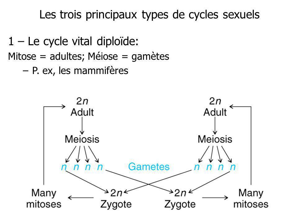 Les trois principaux types de cycles sexuels 1 – Le cycle vital diploïde: Mitose = adultes; Méiose = gamètes –P. ex, les mammifères