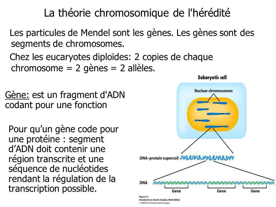 La composition des chromosomes: LADN chromosomique est empaqueté autour de protéines histones.