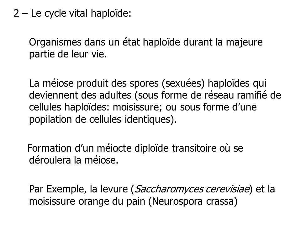 2 – Le cycle vital haploïde: Organismes dans un état haploïde durant la majeure partie de leur vie. La méiose produit des spores (sexuées) haploïdes q