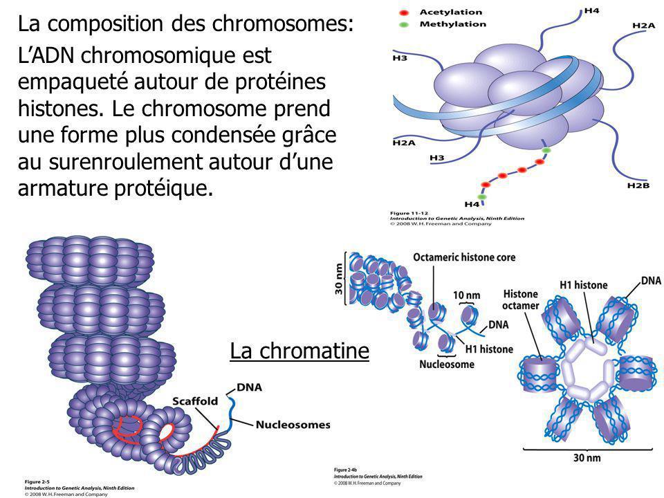 La composition des chromosomes: LADN chromosomique est empaqueté autour de protéines histones. Le chromosome prend une forme plus condensée grâce au s