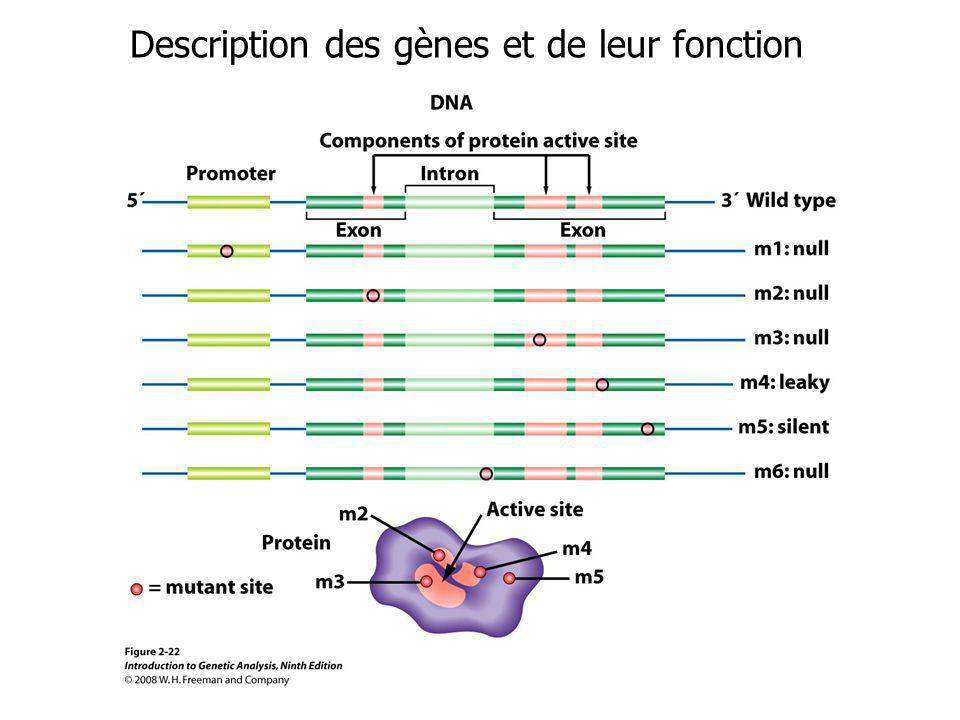 Description des gènes et de leur fonction