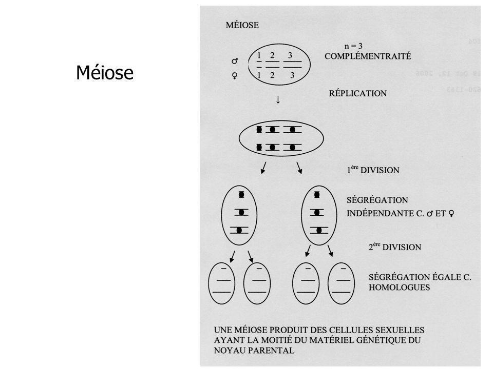 Les stades de la méiose et de la mitose
