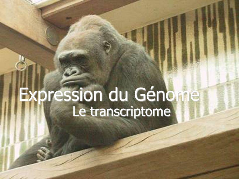 Expression du Génome Le transcriptome