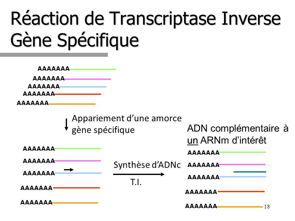 Réaction de Transcriptase Inverse Gène Spécifique 18 AAAAAAA Synthèse dADNc T.I. un ADN complémentaire à un ARNm dintérêt AAAAAAA Appariement dune amo