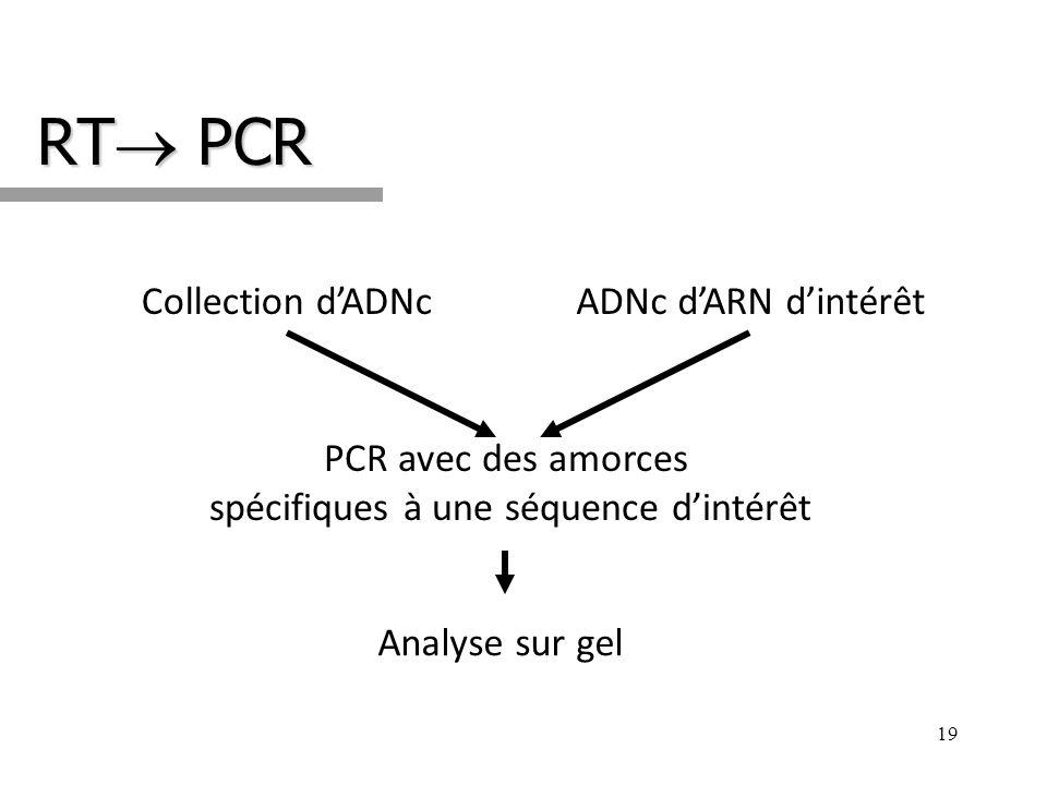 RT PCR 19 Collection dADNcADNc dARN dintérêt Analyse sur gel PCR avec des amorces spécifiques à une séquence dintérêt
