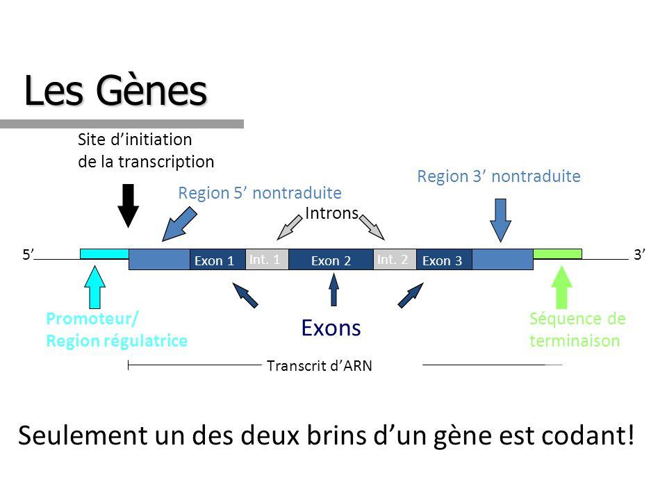 Les Gènes Site dinitiation de la transcription Séquence de terminaison 3 Promoteur/ Region régulatrice 5 Introns Transcrit dARN Region 5 nontraduite R