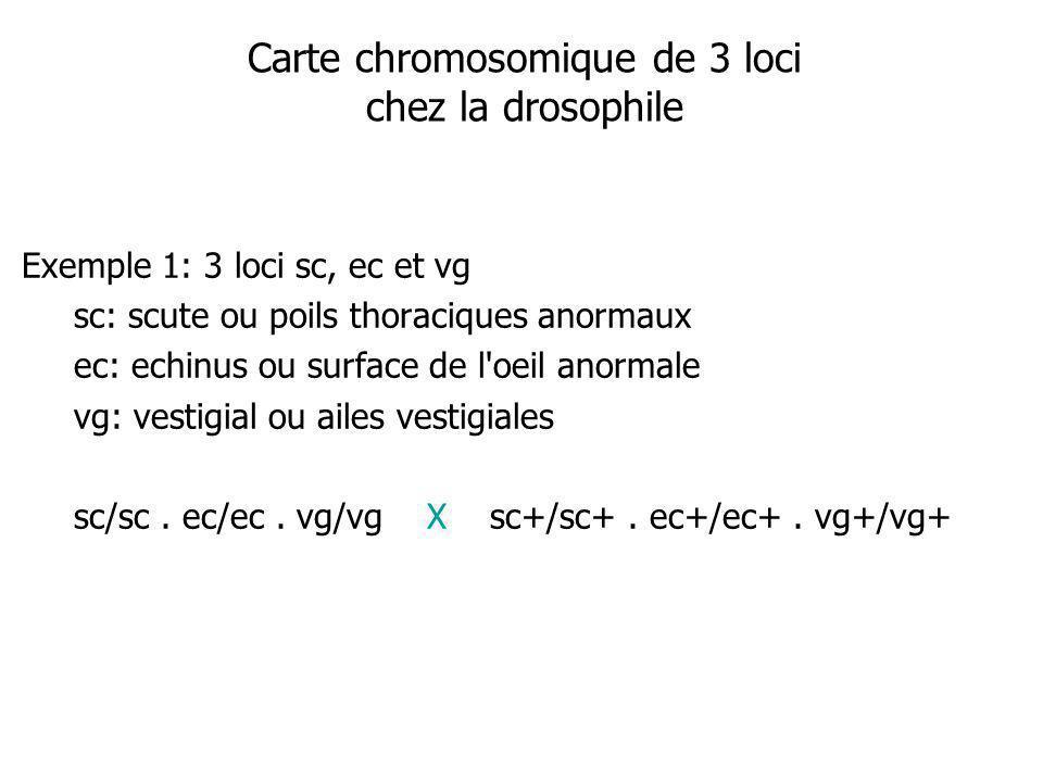 Carte chromosomique de 3 loci chez la drosophile Exemple 1: 3 loci sc, ec et vg sc: scute ou poils thoraciques anormaux ec: echinus ou surface de l oeil anormale vg: vestigial ou ailes vestigiales sc/sc.