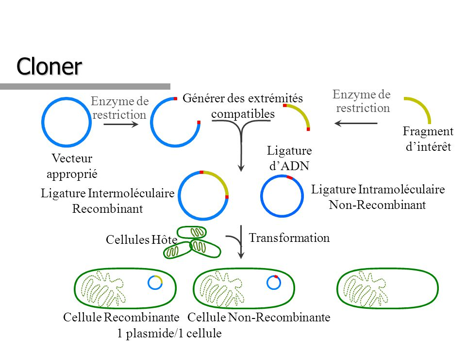 1 plasmide/1 cellule Enzyme de restriction Enzyme de restriction Transformation Cellules Hôte Fragment dintérêt Vecteur approprié Générer des extrémit
