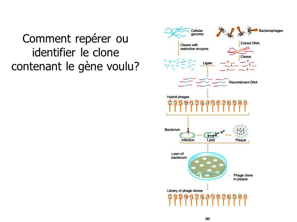 Comment repérer ou identifier le clone contenant le gène voulu?