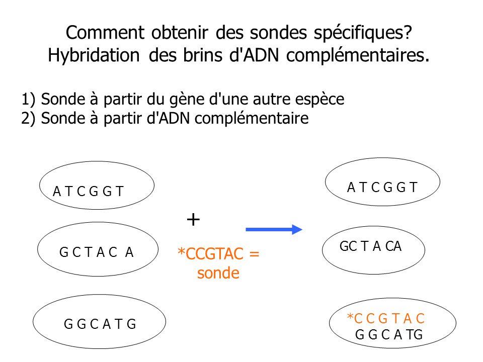 Comment obtenir des sondes spécifiques? Hybridation des brins d'ADN complémentaires. G C T A C A A T C G G T G G C A T G *CCGTAC = sonde *C C G T A C