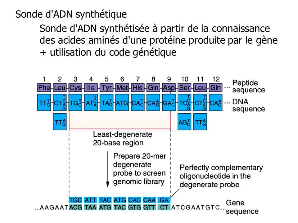 Sonde d'ADN synthétique Sonde d'ADN synthétisée à partir de la connaissance des acides aminés d'une protéine produite par le gène + utilisation du cod