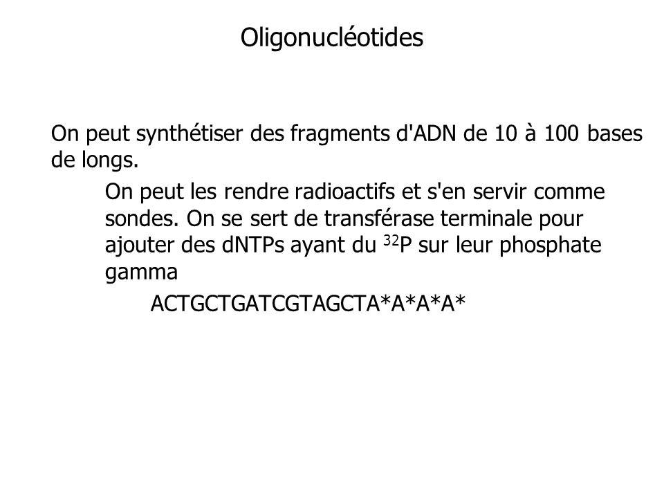 Oligonucléotides On peut synthétiser des fragments d'ADN de 10 à 100 bases de longs. On peut les rendre radioactifs et s'en servir comme sondes. On se