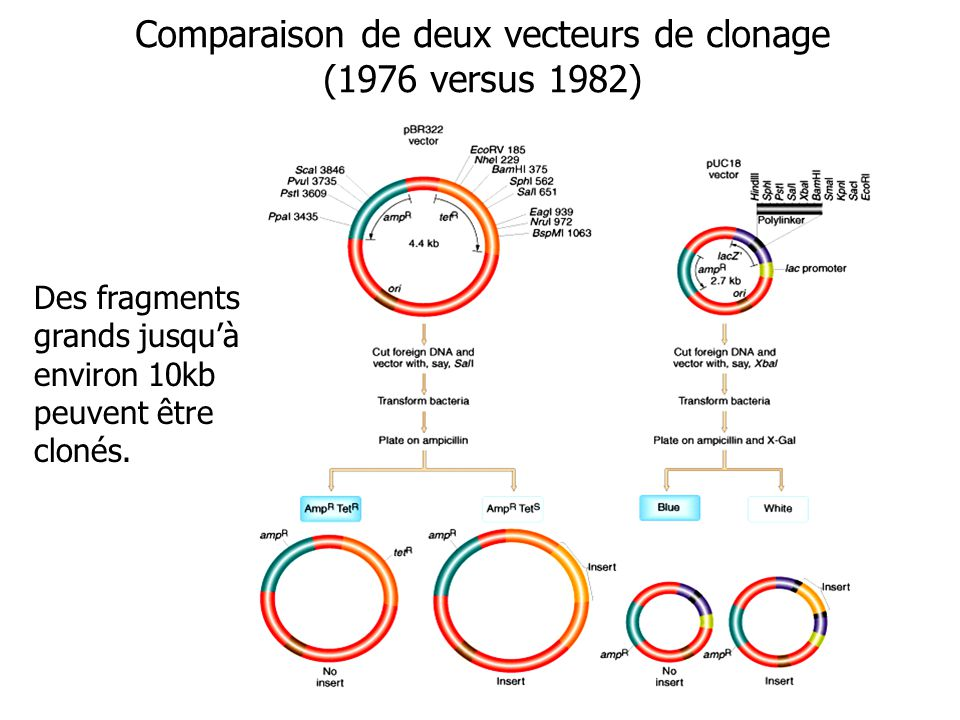 Comparaison de deux vecteurs de clonage (1976 versus 1982) Des fragments grands jusquà environ 10kb peuvent être clonés.