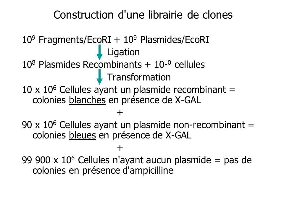 Construction d'une librairie de clones 10 9 Fragments/EcoRI + 10 9 Plasmides/EcoRI Ligation 10 8 Plasmides Recombinants + 10 10 cellules Transformatio