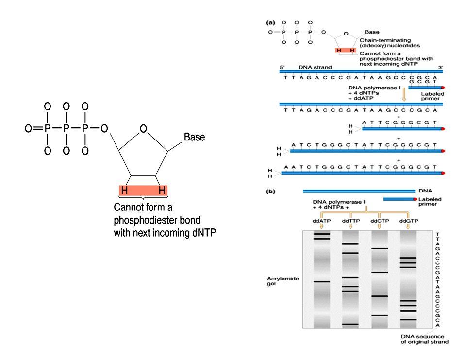 Sonde d ADN synthétique Sonde d ADN synthétisée à partir de la connaissance des acides aminés d une protéine produite par le gène + utilisation du code génétique
