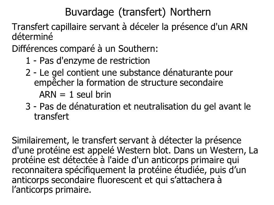 Buvardage (transfert) Northern Transfert capillaire servant à déceler la présence d'un ARN déterminé Différences comparé à un Southern: 1 - Pas d'enzy