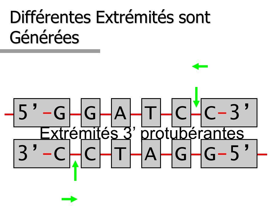 Différentes Extrémités sont Générées Extrémités 3 protubérantes 3-C3-C 5-G5-GGATCC-3C-3 CTAGG-5G-5