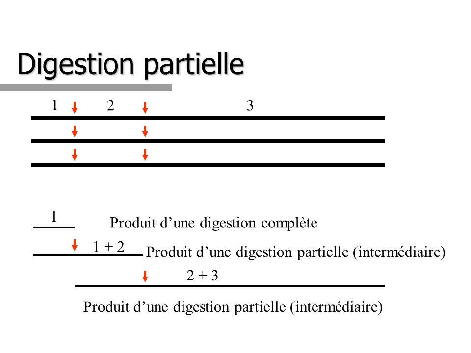 1 23 1 Produit dune digestion complète Produit dune digestion partielle (intermédiaire) 1 + 2 Produit dune digestion partielle (intermédiaire) 2 + 3 D