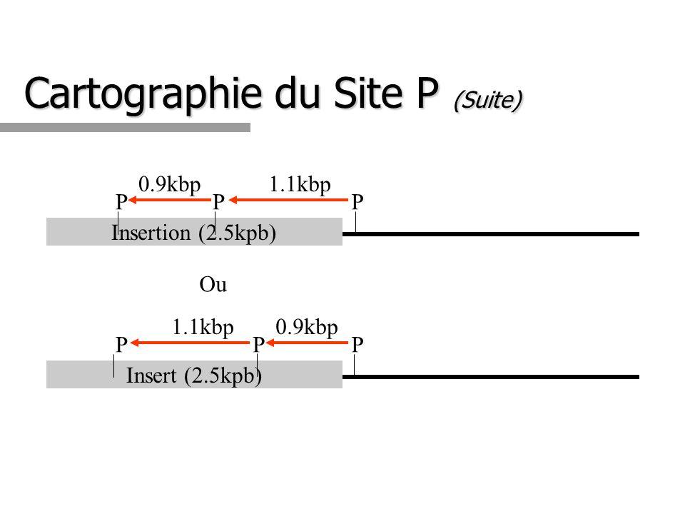 Cartographie du Site P (Suite) Insertion (2.5kpb) P 1.1kbp P 0.9kbp P Insert (2.5kpb) P 0.9kbp P 1.1kbp P Ou