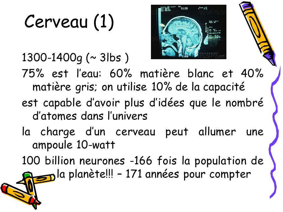 Cerveau (1) 1300-1400g (~ 3lbs ) 75% est leau: 60% matière blanc et 40% matière gris; on utilise 10% de la capacité est capable davoir plus didées que le nombré datomes dans lunivers la charge dun cerveau peut allumer une ampoule 10-watt 100 billion neurones -166 fois la population de la planète!!.