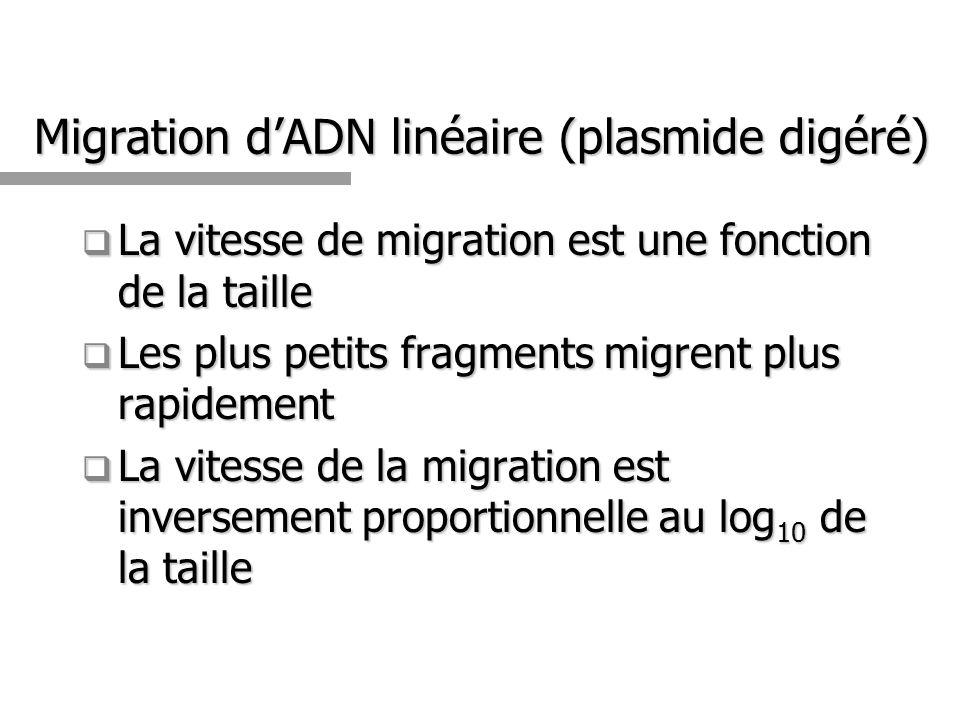 Migration dADN linéaire (plasmide digéré) La vitesse de migration est une fonction de la taille La vitesse de migration est une fonction de la taille Les plus petits fragments migrent plus rapidement Les plus petits fragments migrent plus rapidement La vitesse de la migration est inversement proportionnelle au log 10 de la taille La vitesse de la migration est inversement proportionnelle au log 10 de la taille