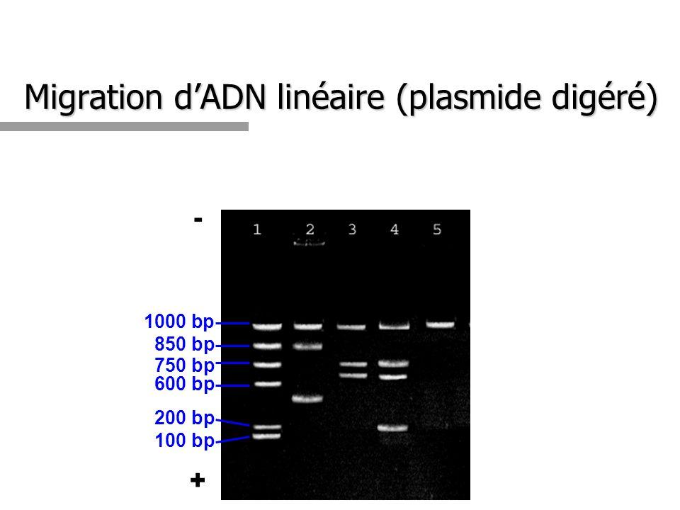 Migration dADN linéaire (plasmide digéré) 1000 bp 850 bp 750 bp 600 bp 200 bp 100 bp - +