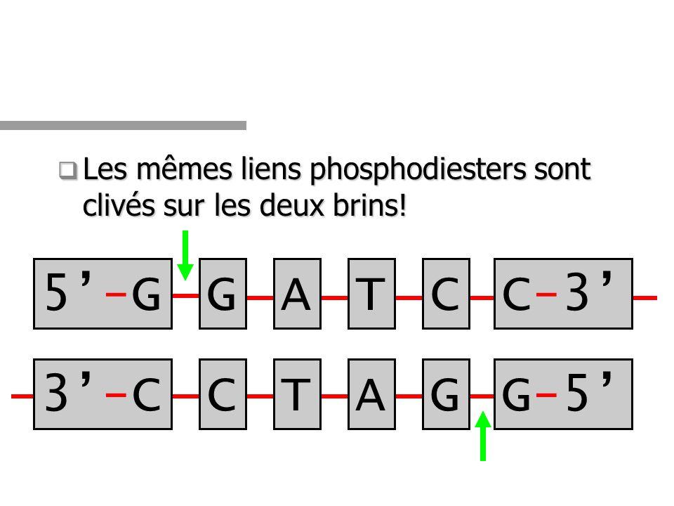 Les mêmes liens phosphodiesters sont clivés sur les deux brins! Les mêmes liens phosphodiesters sont clivés sur les deux brins! 5-G5-G 3-C3-CCTAG GATC