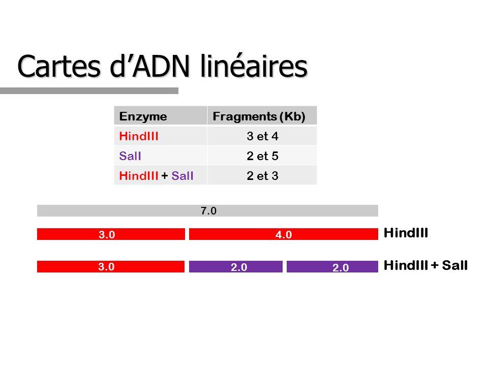 Cartes dADN linéaires EnzymeFragments (Kb) HindIII3 et 4 SalI2 et 5 HindIII + SalI2 et 3 3.0 4.0 HindIII 7.0 HindIII + SalI 2.0 3.0