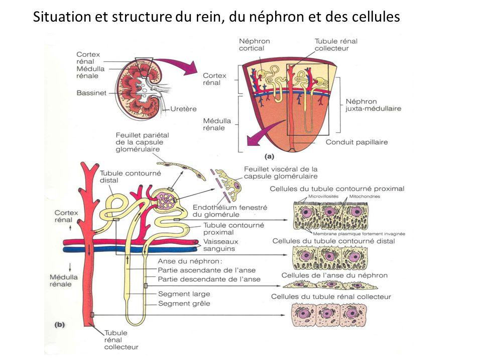 Situation et structure du rein, du néphron et des cellules