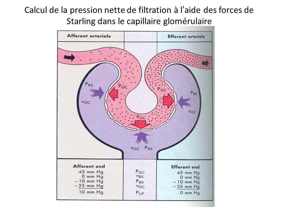 Calcul de la pression nette de filtration à laide des forces de Starling dans le capillaire glomérulaire
