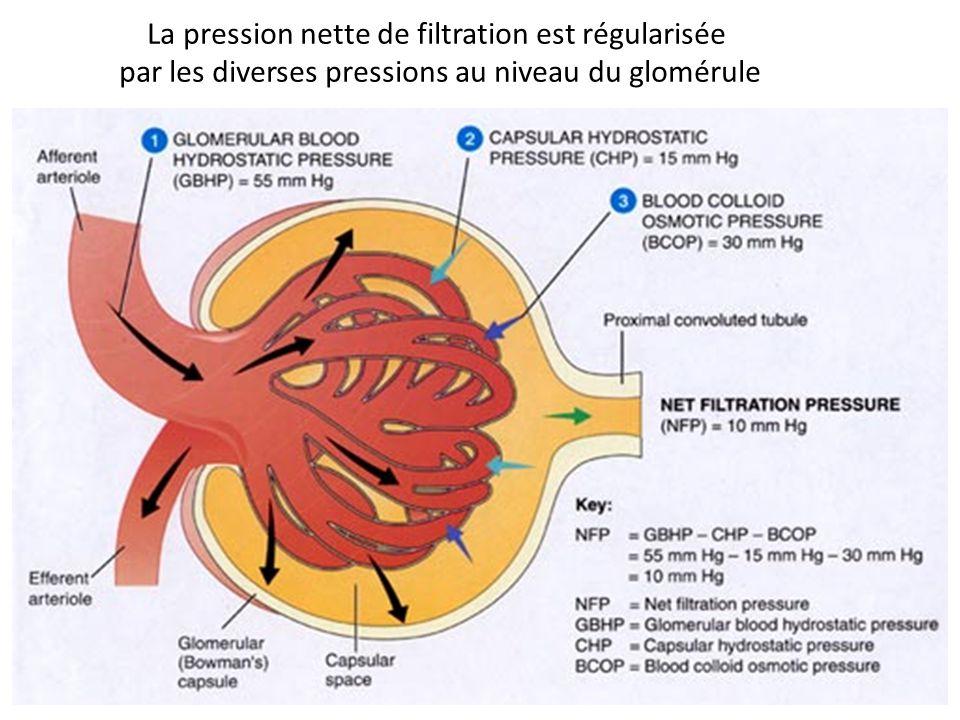 La pression nette de filtration est régularisée par les diverses pressions au niveau du glomérule