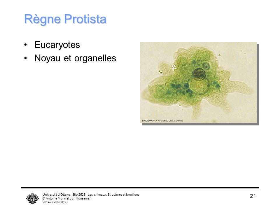 Université dOttawa - Bio 2525 - Les animaux: Structures et fonctions © Antoine Morin et Jon Houseman 2014-06-05 08:37 21 Règne Protista Eucaryotes Noy
