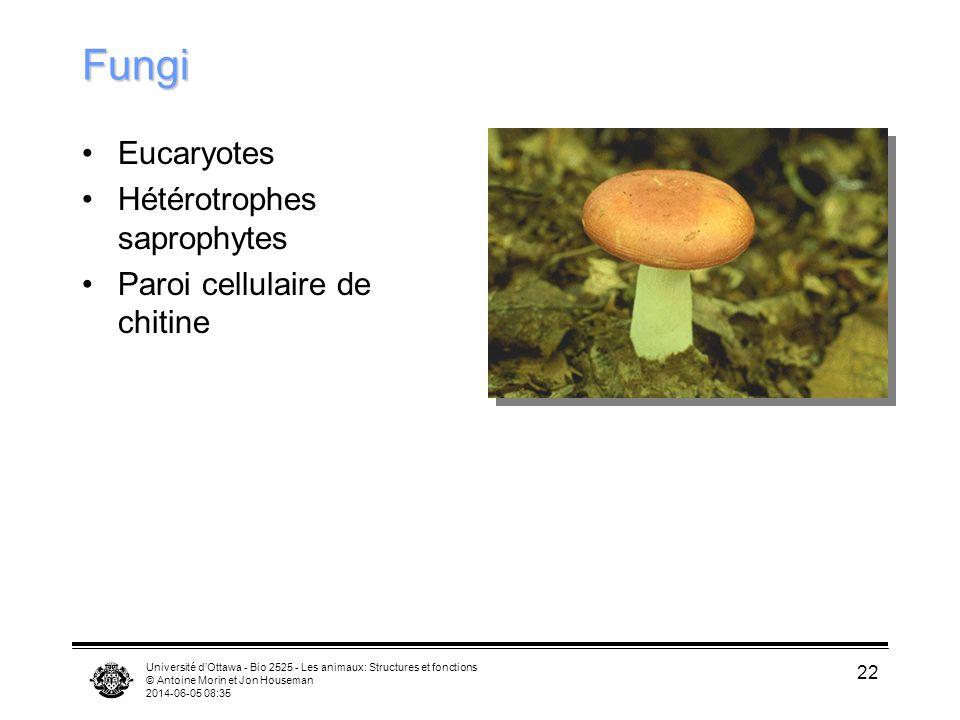 Université dOttawa - Bio 2525 - Les animaux: Structures et fonctions © Antoine Morin et Jon Houseman 2014-06-05 08:37 22 Fungi Eucaryotes Hétérotrophe