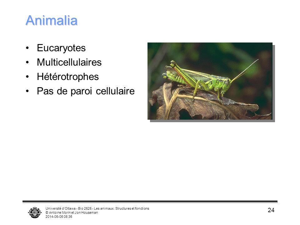Université dOttawa - Bio 2525 - Les animaux: Structures et fonctions © Antoine Morin et Jon Houseman 2014-06-05 08:37 24 Animalia Eucaryotes Multicellulaires Hétérotrophes Pas de paroi cellulaire