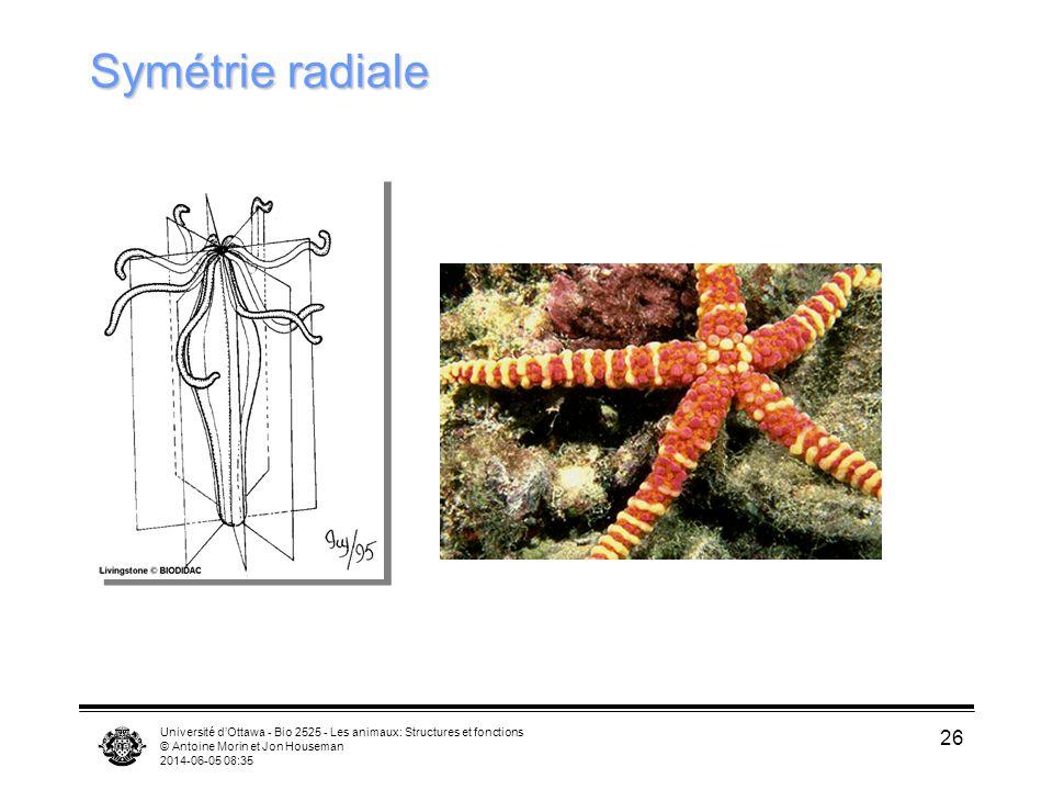 Université dOttawa - Bio 2525 - Les animaux: Structures et fonctions © Antoine Morin et Jon Houseman 2014-06-05 08:37 26 Symétrie radiale