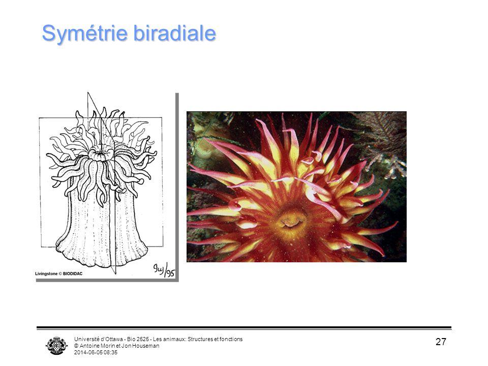 Université dOttawa - Bio 2525 - Les animaux: Structures et fonctions © Antoine Morin et Jon Houseman 2014-06-05 08:37 27 Symétrie biradiale