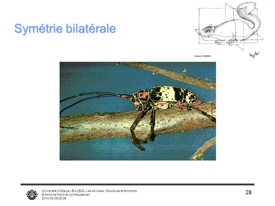 Université dOttawa - Bio 2525 - Les animaux: Structures et fonctions © Antoine Morin et Jon Houseman 2014-06-05 08:37 28 Symétrie bilatérale