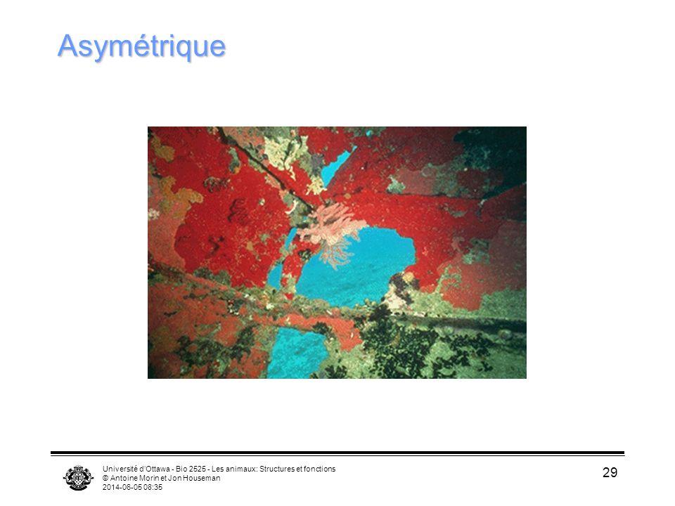 Université dOttawa - Bio 2525 - Les animaux: Structures et fonctions © Antoine Morin et Jon Houseman 2014-06-05 08:37 29 Asymétrique