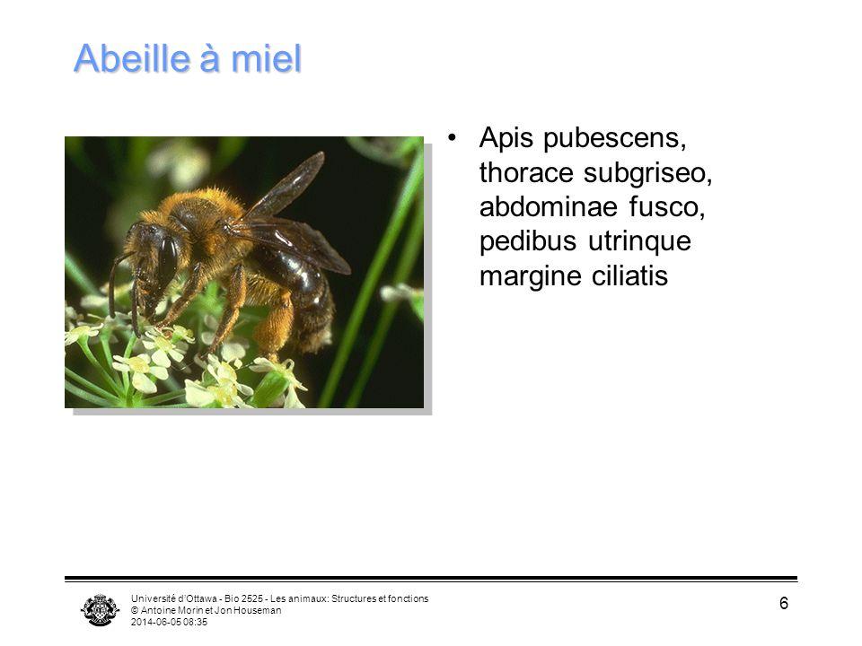Université dOttawa - Bio 2525 - Les animaux: Structures et fonctions © Antoine Morin et Jon Houseman 2014-06-05 08:37 6 Abeille à miel Apis pubescens,