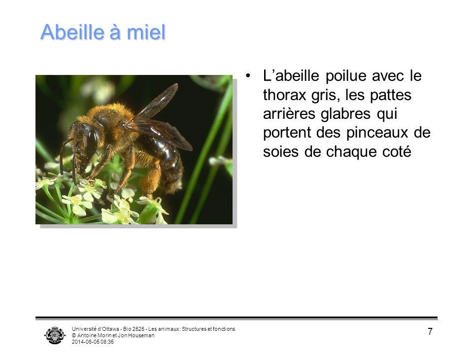 Université dOttawa - Bio 2525 - Les animaux: Structures et fonctions © Antoine Morin et Jon Houseman 2014-06-05 08:37 7 Abeille à miel Labeille poilue