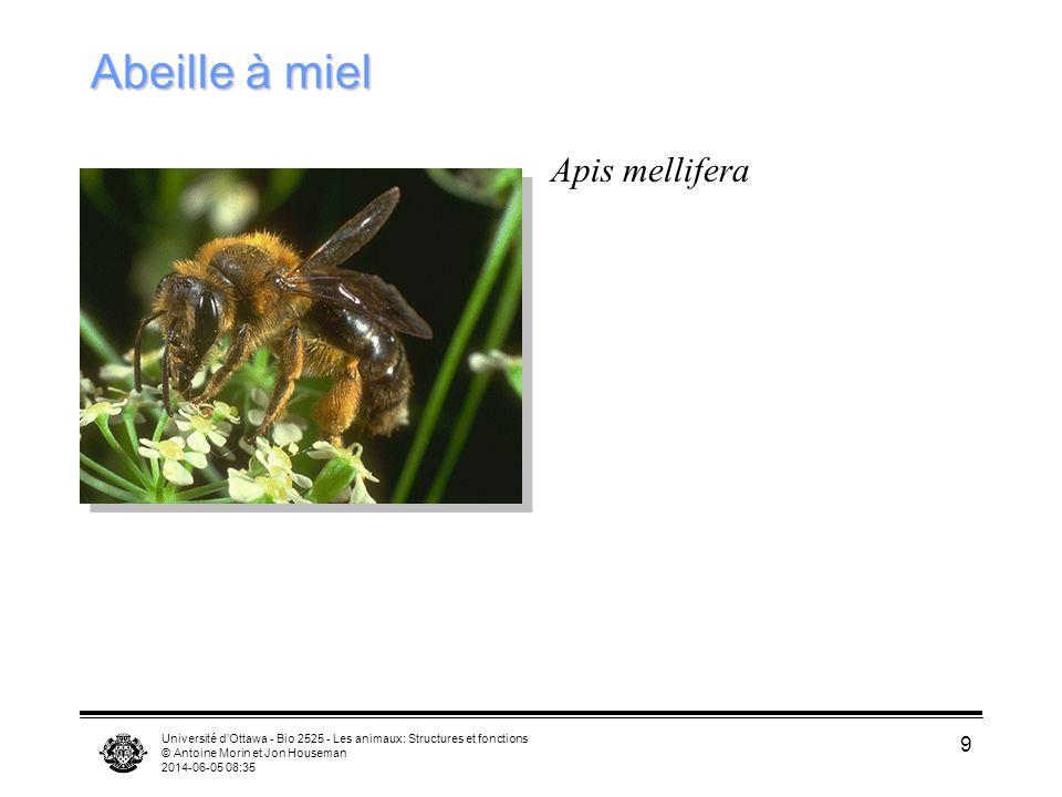 Université dOttawa - Bio 2525 - Les animaux: Structures et fonctions © Antoine Morin et Jon Houseman 2014-06-05 08:37 9 Abeille à miel Apis mellifera