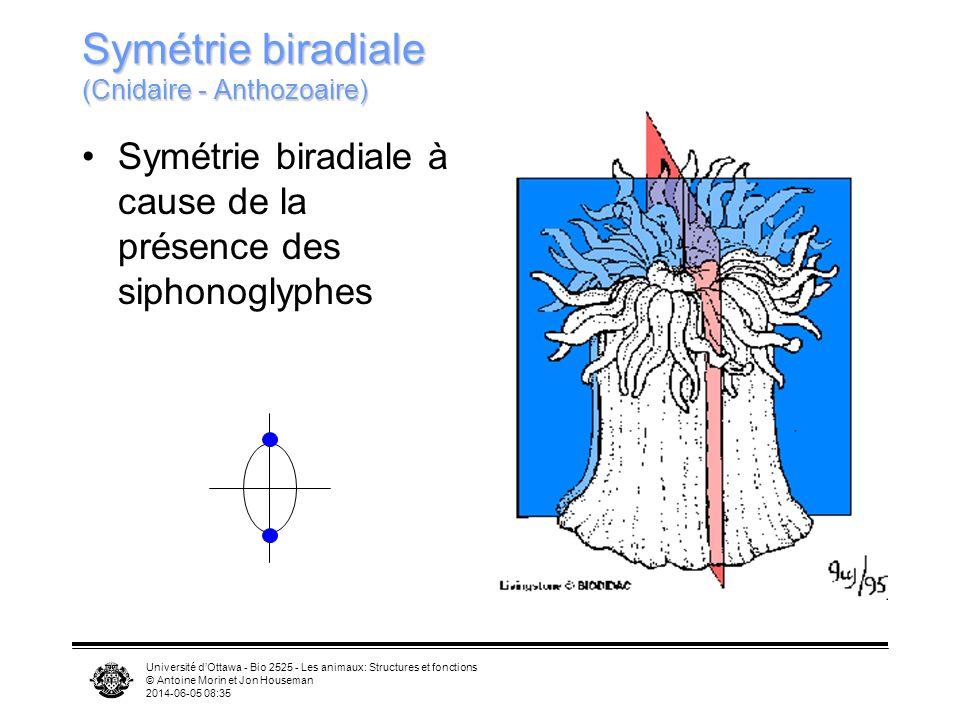 Université dOttawa - Bio 2525 - Les animaux: Structures et fonctions © Antoine Morin et Jon Houseman 2014-06-05 08:37 Symétrie biradiale (Cnidaire - A