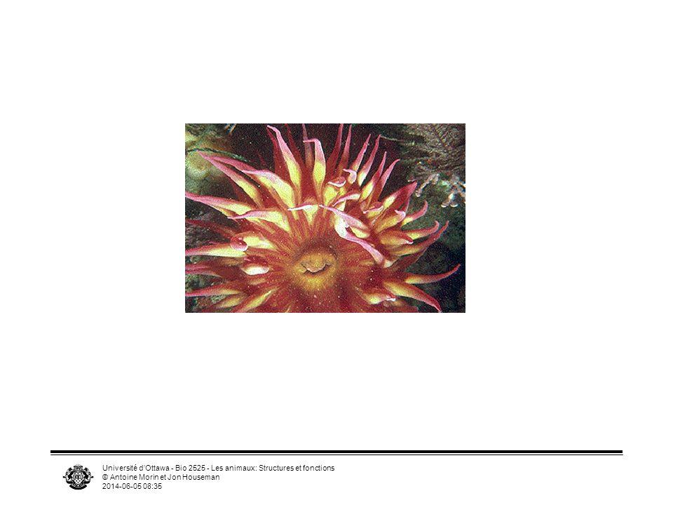 Université dOttawa - Bio 2525 - Les animaux: Structures et fonctions © Antoine Morin et Jon Houseman 2014-06-05 08:37