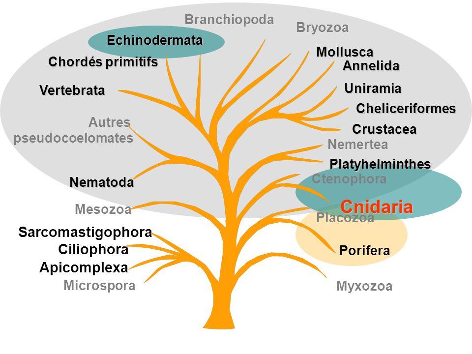 Myxozoa Uniramia Cheliceriformes Crustacea Annelida Mollusca Branchiopoda Chordés primitifs Vertebrata Autres pseudocoelomates Nematoda Porifera Cteno