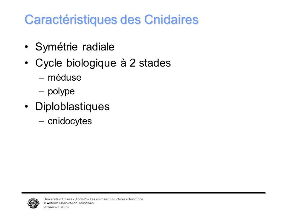 Université dOttawa - Bio 2525 - Les animaux: Structures et fonctions © Antoine Morin et Jon Houseman 2014-06-05 08:37 Caractéristiques des Cnidaires S