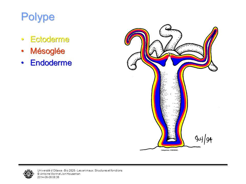 Université dOttawa - Bio 2525 - Les animaux: Structures et fonctions © Antoine Morin et Jon Houseman 2014-06-05 08:37 Polype Ectoderme Mésoglée Endode
