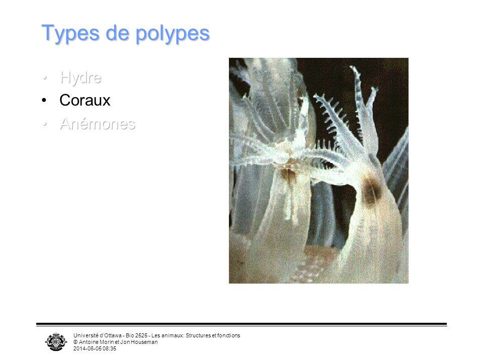Université dOttawa - Bio 2525 - Les animaux: Structures et fonctions © Antoine Morin et Jon Houseman 2014-06-05 08:37 Types de polypes