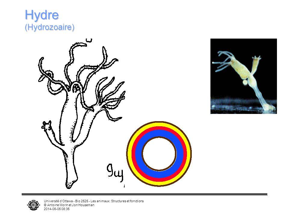 Université dOttawa - Bio 2525 - Les animaux: Structures et fonctions © Antoine Morin et Jon Houseman 2014-06-05 08:37 Hydre (Hydrozoaire)