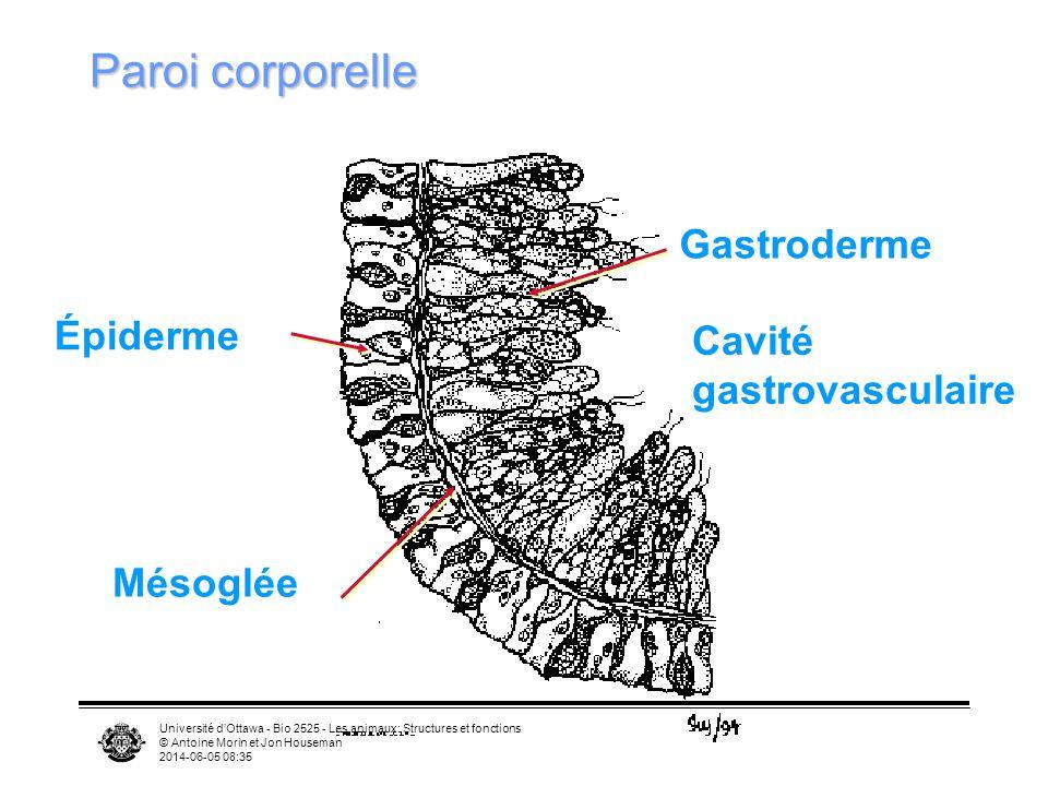 Université dOttawa - Bio 2525 - Les animaux: Structures et fonctions © Antoine Morin et Jon Houseman 2014-06-05 08:37 Cavité gastrovasculaire Épiderme